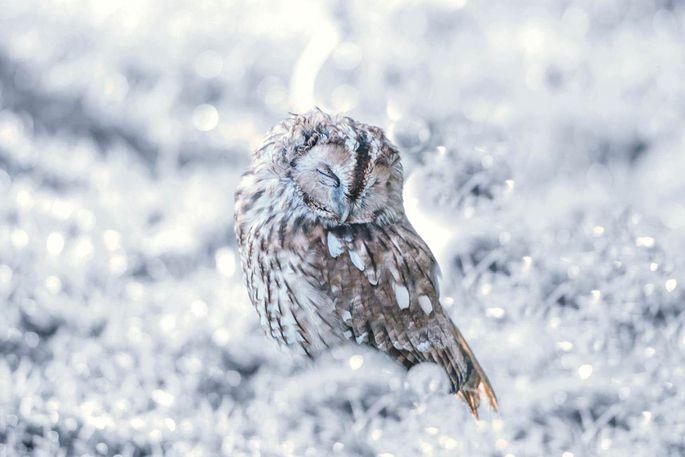 cd12613c6c7 Muinasjutulised pildid: öökull tukastab lumes - Linnud - Lemmik