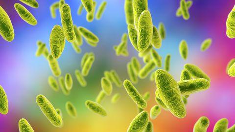 Brucella bakterid