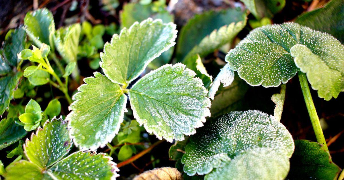 Nädalavahetuseks lubab öökülma: haruldaselt lihtne nipp, kuidas taimi kaitsta