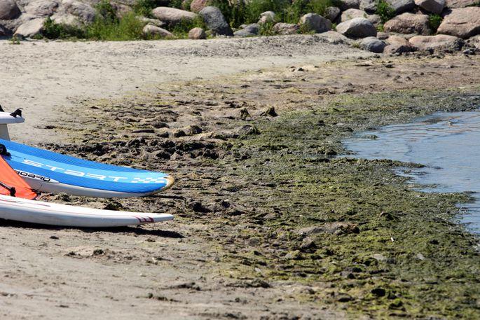 Департамент: на берегу Чудского озера замечены сине-зеленые водоросли