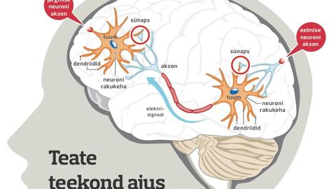 Neuronid ajus.