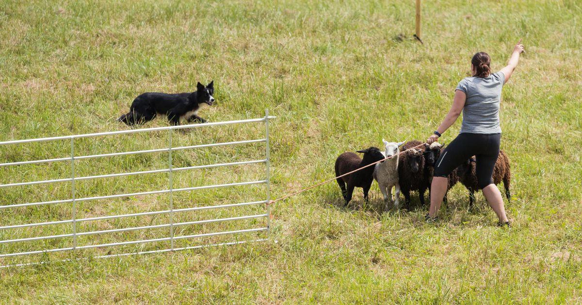 Põlvamaal sai teoks Eesti esimene karjakoerte võistlus