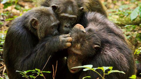 Uganda rahvuspargi šimpansid omakeskis aega veetmas.