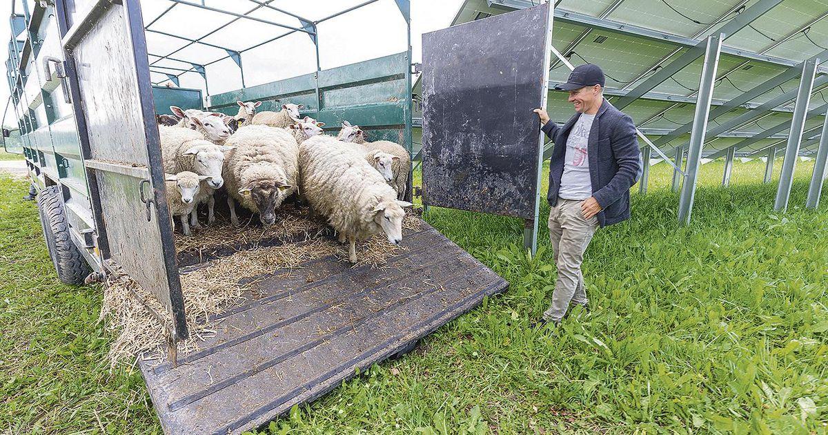 Töös olevaid päikesejaamu hooldavad lambad